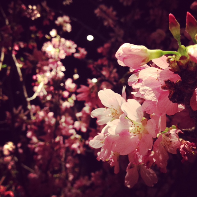 銀座の桜。